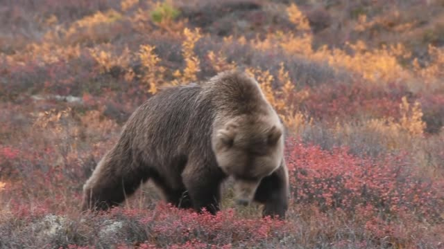 alaska grizzly bear feeding in the wild - north america stock videos & royalty-free footage