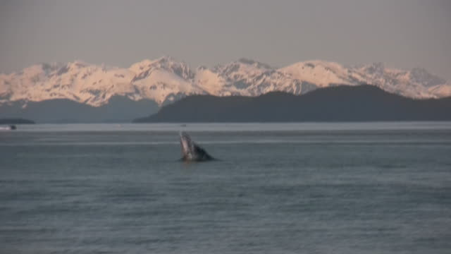 stockvideo's en b-roll-footage met alaska humpback whale mountains snow pacific ocean glacier nature forest - walvis