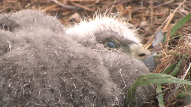 vídeos de stock, filmes e b-roll de cu, usa, alaska, katmai national park, american bald eagle chick (haliaeetus leucocephalus) lying in nest - ave de rapina