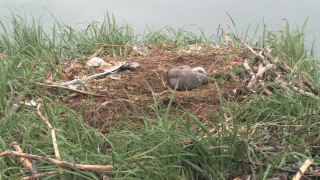 ms, usa, alaska, katmai national park, american bald eagle chick (haliaeetus leucocephalus) lying in nest at riverbank - bird's nest stock videos & royalty-free footage