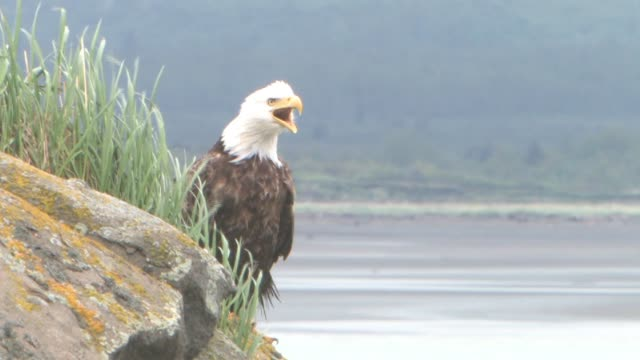 ms, usa, alaska, katmai national park, american bald eagle (haliaeetus leucocephalus) sitting on rocky outcrop - outcrop stock videos & royalty-free footage