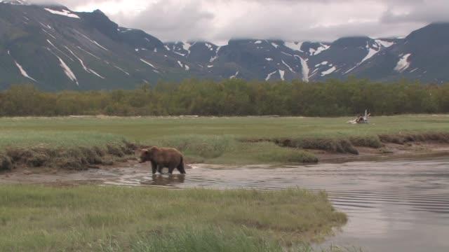 MS, USA, Alaska, Katmai National Park, Brown bear (Ursus Arctos) crossing stream, mountains in background