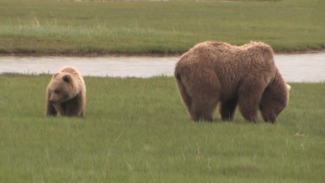 vidéos et rushes de ms, usa, alaska, katmai national park, brown bear (ursus arctos) grazing in grassland by stream - ours brun