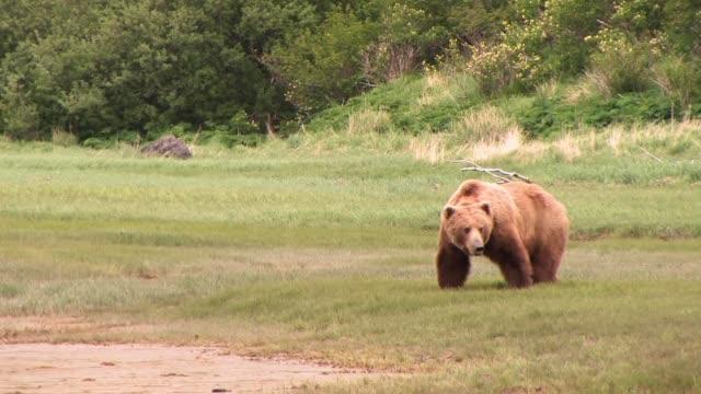 ms, usa, alaska, katmai national park, brown bear (ursus arctos) grazing on sedge grass - bear stock videos & royalty-free footage