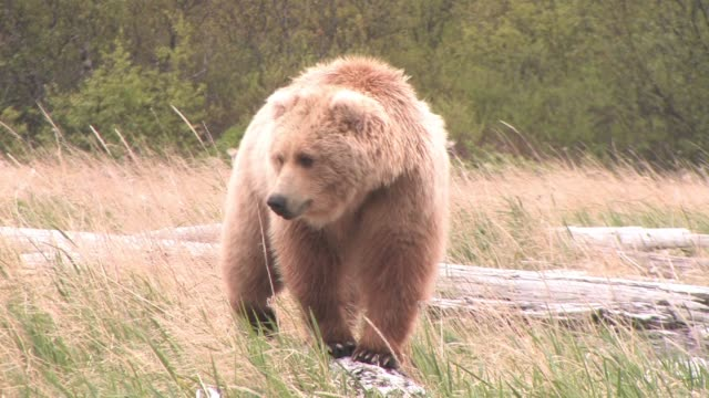 vidéos et rushes de cu, pan, usa, alaska, katmai national park, brown bear (ursus arctos) in tall grass - ours brun