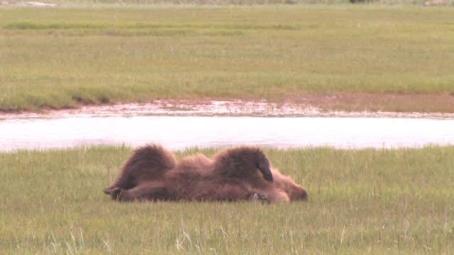 stockvideo's en b-roll-footage met ms, usa, alaska, katmai national park, brown bear (ursus arctos) rolling around and scratching back in field - krab