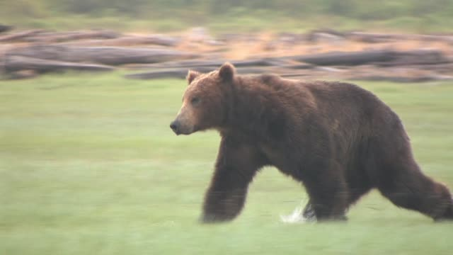 ms, pan, usa, alaska, katmai national park, brown bear (ursus arctos) running across marsh - クマ点の映像素材/bロール