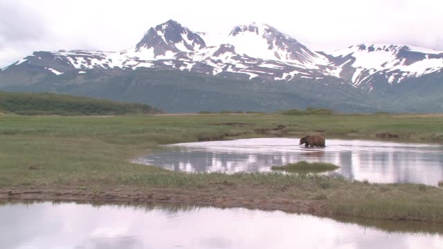 WS, ZI, MS, USA, Alaska, Katmai National Park, Brown bear (Ursus Arctos) wading in pond, snow capped mountains in background