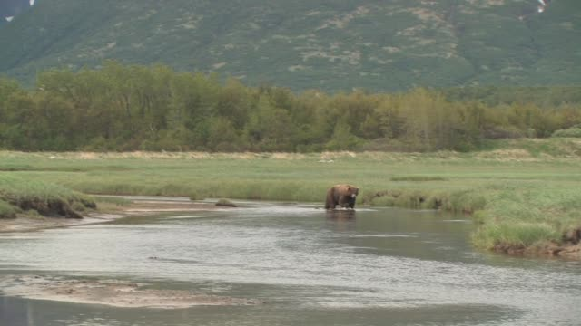 MS, TD, USA, Alaska, Katmai National Park, Brown bear (Ursus Arctos) wading in stream