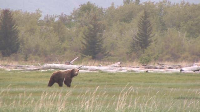 MS, PAN, USA, Alaska, Katmai National Park, Brown bear (Ursus Arctos) walking in grassland