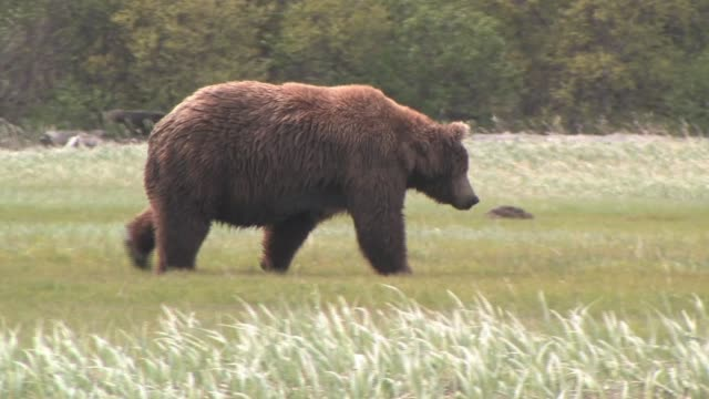 ms, pan, usa, alaska, katmai national park, brown bear (ursus arctos) walking in sedge grass - クマ点の映像素材/bロール