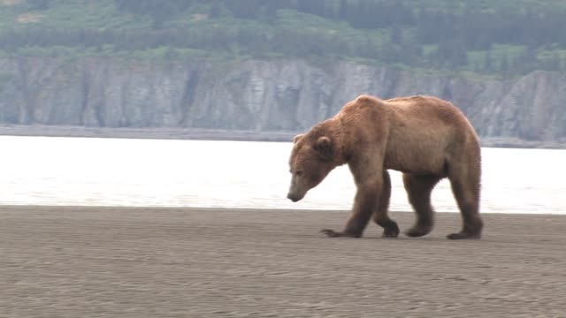 ms, pan, usa, alaska, katmai national park, brown bear (ursus arctos) walking on beach - bear stock videos and b-roll footage