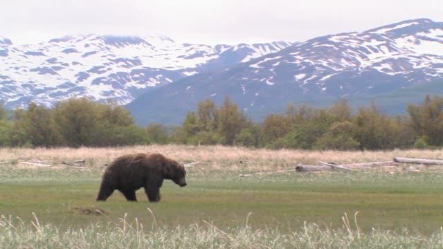 MS, PAN, USA, Alaska, Katmai National Park, Brown bear (Ursus Arctos) walking on field, snow capped mountains in background