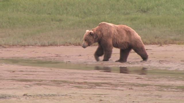 MS, PAN, USA, Alaska, Katmai National Park, Brown bear (Ursus Arctos) walking on muddy tide flat