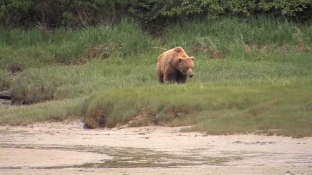 vidéos et rushes de ms, pan, usa, alaska, katmai national park, brown bear (ursus arctos) walking on sedge grass, muddy stream in foreground - ours brun