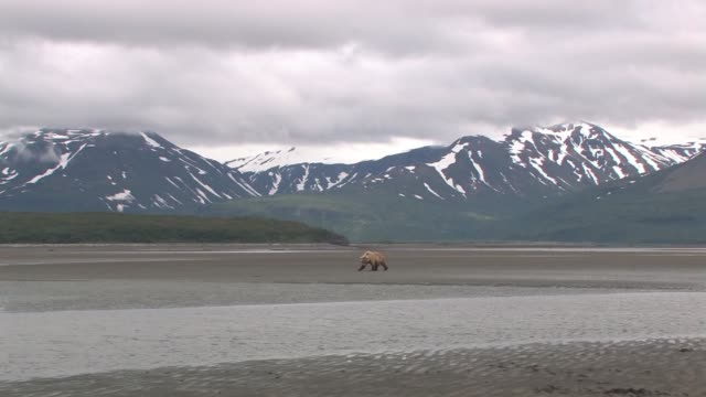 WS, USA, Alaska, Katmai National Park, Brown bear (Ursus Arctos) walking on tide flat, snow capped mountains in background