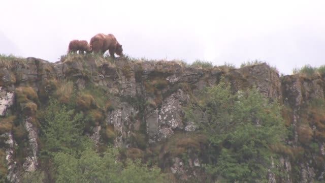 ms, la, usa, alaska, katmai national park, brown bear (ursus arctos) with cub grazing on crest of rocky hill in rain - animal's crest stock videos and b-roll footage