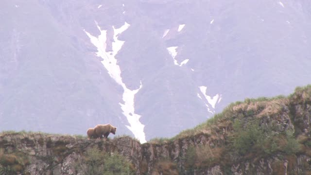 ms, la, usa, alaska, katmai national park, brown bear (ursus arctos) with cub walking on crest of rocky hill - animal's crest stock videos and b-roll footage