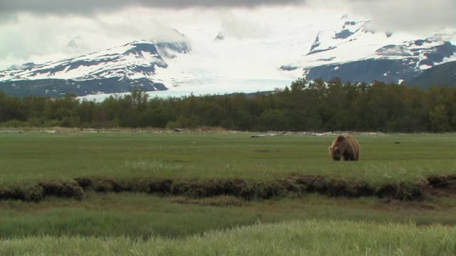 MS, USA, Alaska, Katmai National Park, Brown bears (Ursus Arctos) grazing in field, snow capped mountains in background