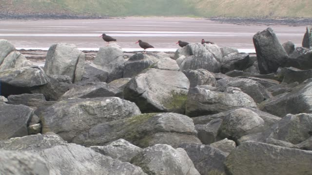 MS, USA, Alaska, Katmai National Park, Four black oyster catchers (Haematopus bachmani) on rocks, tidal flat and green hills in background