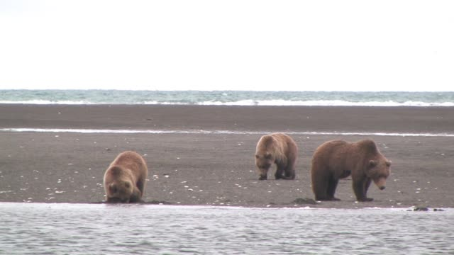 vidéos et rushes de ms, usa, alaska, katmai national park, three brown bears (ursus arctos) digging for clams on beach - bay of water