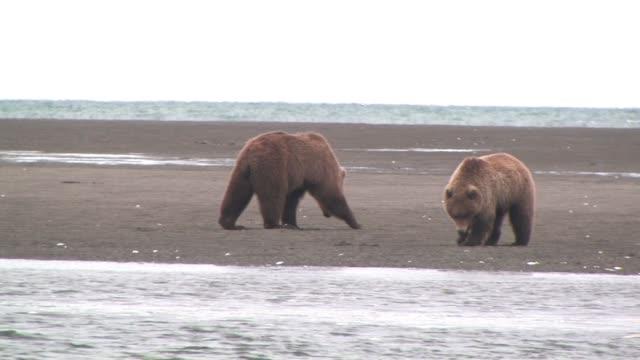 vidéos et rushes de ms, pan, usa, alaska, katmai national park, two brown bears (ursus arctos) digging foe clams on beach - bay of water
