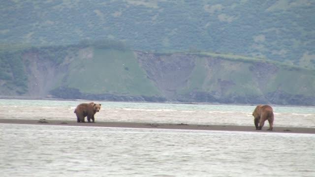 vídeos de stock e filmes b-roll de ms, usa, alaska, katmai national park, two brown bears (ursus arctos) on sand spit - banco de areia