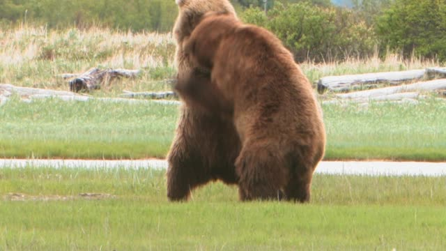 MS, USA, Alaska, Katmai National Park, Two brown bears (Ursus Arctos) play fighting in field