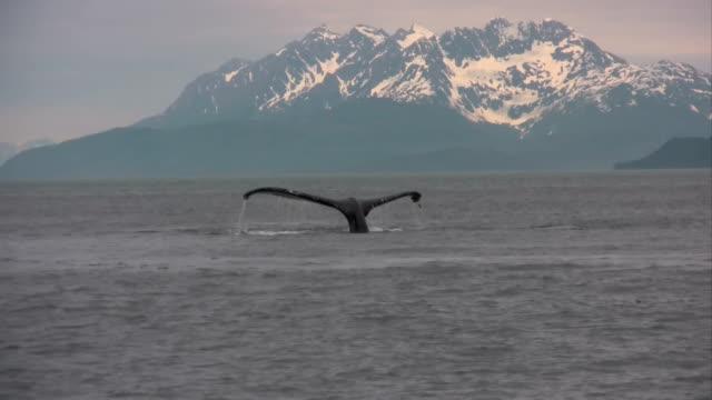 vídeos de stock e filmes b-roll de alasca baleia em alta definição & guardado em hd de elevada qualidade. - cetáceo