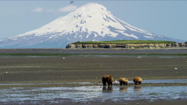 alaskan brown bear and cubs mt redoubt volcano - alaska stato usa video stock e b–roll