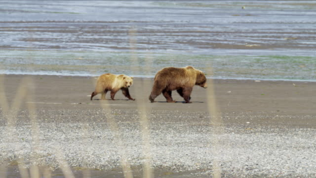 vidéos et rushes de alaskan brown bear cubs with mother on katmai - famille d'animaux