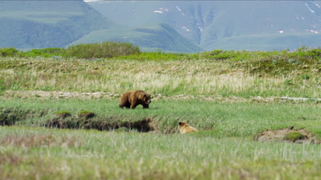 alaskan brown bear cubs with mother on katmai - alaska stato usa video stock e b–roll
