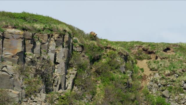 alaskan brown grizzly bear cliff coastline wilderness katmai - 崖点の映像素材/bロール