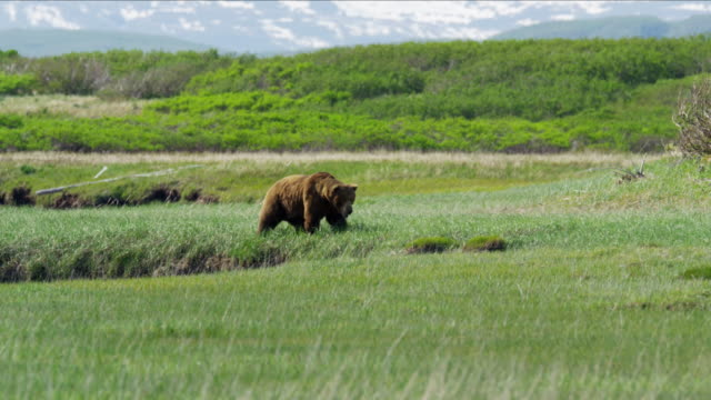 alaskan brown grizzly bear hunting katmai peninsula alaska - alaska stato usa video stock e b–roll
