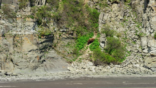 alaskan brown grizzly bear katmai national park reserve - 崖点の映像素材/bロール