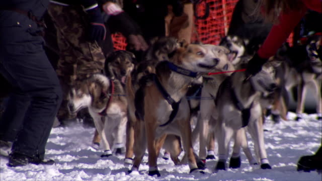 alaskan husky dogs in harnesses being held by unidentifiable men dogs begin running toward frame on snow trail pulling sled behind unidentifiable... - husky stock videos & royalty-free footage