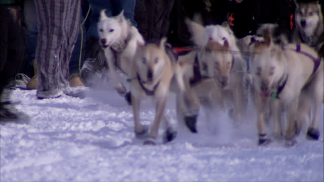 alaskan husky dogs in harnesses being held by unidentifiable men running toward frame on snow trail unidentifiable people bg iditarod mushing lead... - husky stock videos & royalty-free footage
