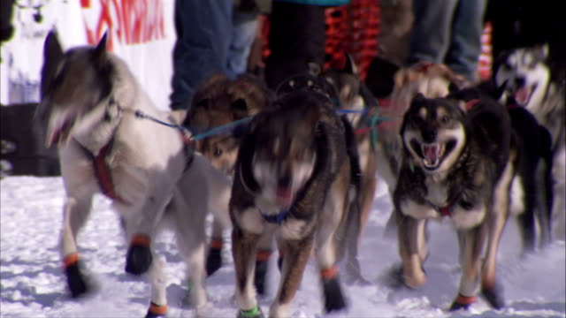 alaskan husky dogs in harnesses tied to taglines gangline at start of race dogs begin running toward frame on snow trail unidentifiable people bg... - pure bred dog stock videos and b-roll footage