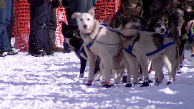 alaskan husky dogs in harnesses waiting then running toward frame on snow trail unidentifiable people bg iditarod mushing lead dogs swing dogs team... - husky stock videos & royalty-free footage