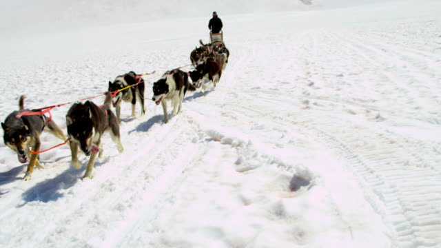 alaskan husky dogs used for high endurance usa - malamute stock videos and b-roll footage