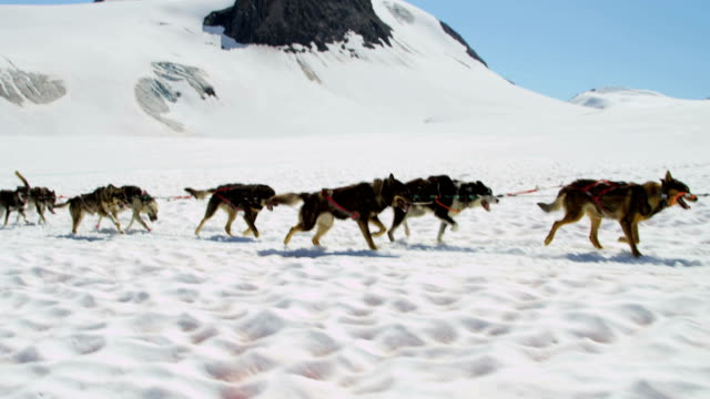 alaskan husky dogs used for sled adventures usa - malamute stock videos and b-roll footage