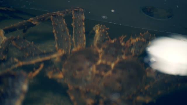 alaskan königskrabben - tierkörper stock-videos und b-roll-filmmaterial