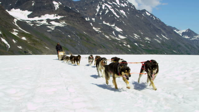 alaskan malamute dogs used for high endurance usa - malamute stock videos and b-roll footage