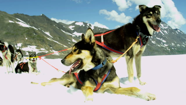alaskan malamute dogs used for sled adventures usa - malamute stock videos and b-roll footage