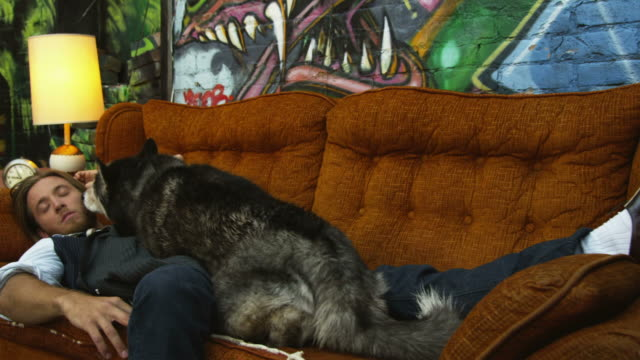 MS DS Alaskan Malamute licking man sleeping on sofa, surprised man waking up, Salt Lake City, Utah, USA