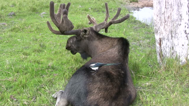 Alce dell'Alaska e uccelli