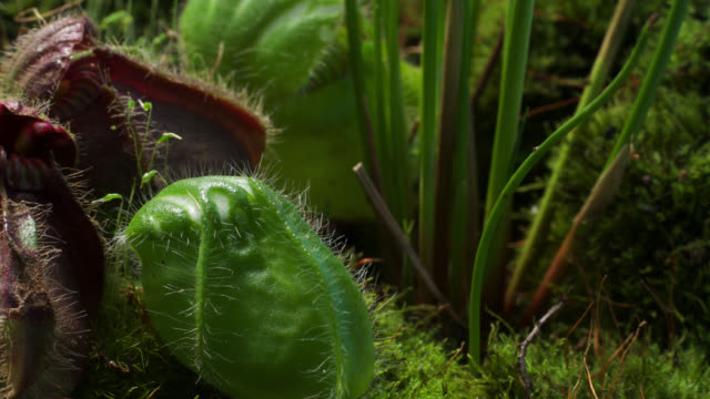 tl albany pitcher plant trap inflates, uk - insectivore stock videos & royalty-free footage
