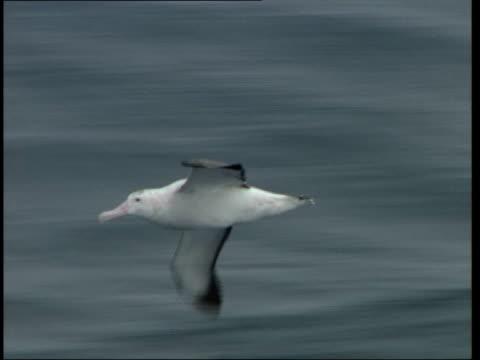 albatross bird flying around pan - albatross stock videos & royalty-free footage