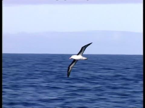 ms albatross circling over sea, antarctica - vagare senza meta video stock e b–roll