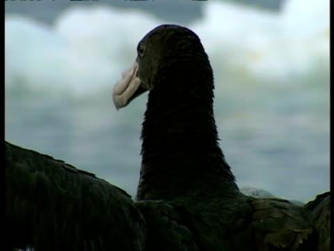 cu albatross head looking around, antarctica - maul stock-videos und b-roll-filmmaterial